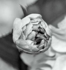 Blüte einer Japanischen Zierkirsche / Japanische Blütenkirsche, Prunus serrulata; Schwarz - Weiss.