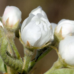 Blütenknospen eines Birnbaums / Pyrus.