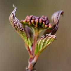 Junge Blätter und Blütenknospen vom Hartriegel (Cornus).