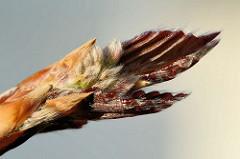 Geöffnete Blattknospe einer Blutbuche / Fagus sylvatica f. purpurea auch Purpurbuche gennannt.