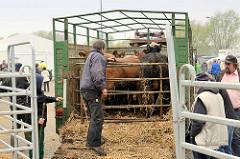 Rinder  auf einem Anhänger getrieben worden - das Tor ist geschlossen, dicht gedrängt stehen die Tiere zusammen: Ochsenmarkt in Wedel.