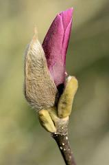 Knospe einer Magnolienblüte - die Magnolie (Magnolia) ist nach dem französischen Botaniker Pierre Magnol benannt; Ziergehölz.