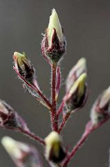 Knospen / Blütenstand - geschlossene Blüten der Felsenbirne / Amelanchier; Zierstrauch - Baum mit vitaminreichen Wildfrüchten.