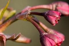 Leicht geöffnete Blütenknospen einer Japanischen Zierkirsche / Japanische Blütenkirsche, Prunus serrulata.