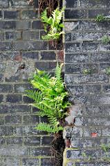 Junger Farn wächst aus einer Kaimauer im Hamburger Hafen.