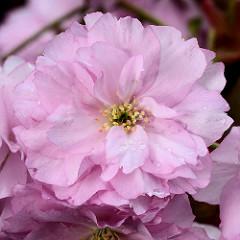 Aufgeblühte Blüte mit Staubgefässen einer Japanischen Zierkirsche / Japanische Blütenkirsche, Prunus serrulata.