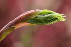 Junger Trieb vom grünen Fächer-Ahorn / Acer palmatum.