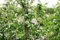 Apfelblüte im Alten Land - Europas größtem Obstanbaugebiet.