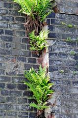 Farn wächst aus einer Mauerritze einer Kaimauer / Ziegelmauer im Hamburger Hafen.