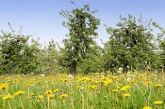 Wiese mit gelb blühendem Löwenzahn - Apfelbäume in Blüte im Hintergrund.