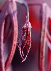 Junges Blatt vom roten Zierahorn  / Edelahorn, Acer.