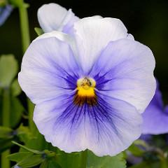 Blüte vom Hornveilchen / Viola cornuta.