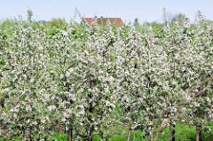 Blühende Apfelplantage in Jork - Apfelblüte im Obstanbaugebiet Altes Land.