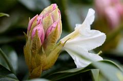 Blütenknospe vom Rhododendron.