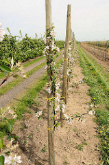 Apfelblüte im Alten Land - Europas größtem Obstanbaugebiet, junge Apfelbäume durch einen Holzpfahl gestützt.