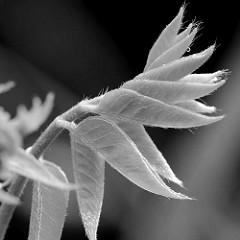 Junge Blätter vom Blauregen (Wisteria), auch Wisterie, Wistarie, Glyzine; Macrofotografie / Schwarz-Weiß