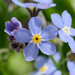 Nahaufnahme von Blüten des Vergissmeinnicht / Myosotis.
