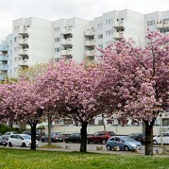 Blüte der Japanischen Zierkirsche - Hochhäuser der Lenzsiedlung, Hamburg Stellingen.