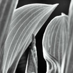 Blätter der Funkien Hosta Tratt., Syn.: Funkia Spreng.), auch Herzblattlilien genannt; Gegenlichtaufnahme in Schwarz-Weiß.