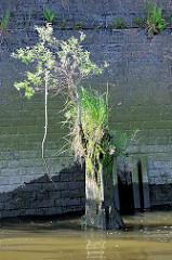 Reste eines Holzdalbens mit Gras und einem kleinen Baum bewachsen - Relikte / Überbleibsel vom alten Hamburger Hafen. Im Hintergrund eine Kaimauer, bemooste Ziegelmauer.