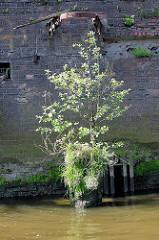 Reste eines Holzdalbens mit Gras und einem kleinen Baum bewachsen - Relikte / Überbleibsel vom alten Hamburger Hafen.  Im Hintergrund eine Kaimauer, bemooste Ziegelmauer; Eisenring einer Streichdalbe in der Mauer.