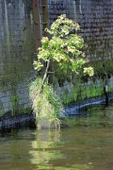 Reste eines alten Holzdalbens mit Gras und jungem Baum bewachsen - bemooste Kaimauer mit Eisenleiter; Relikte vom alten Hafen Hamburgs.
