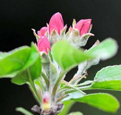 Blütenknospen eines Apfelbaums / Malus.