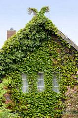 Hausfassade mit Kletterpflanze bewachsen - Fotos aus dem Wendland.