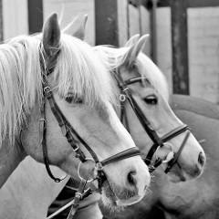 Pferdeportrait in Schwarz Weiss, Bilder aus dem Wendland.