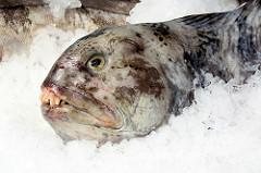 Bilder vom Hamburger Fischmarkt: Der Gestreifte Seewolf / Steinbeisser (Anarhichas lupus) ist ein 1,25 bis 1,5 Meter lang werdender Meeresfisch, der in der Nordsee lebt. Gestreifte Seewölfe laichen von Oktober bis Januar. Die Weibchen legen bis zu 25