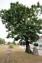 Gerichtslinde von Zehdenick - eine 350 - 400 Jahre Linde, ältester Baum der Stadt.