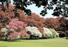 Rotbuchen mit jungem Laub im Frühling im Hamburger Stadtpark - blühende Bäume.