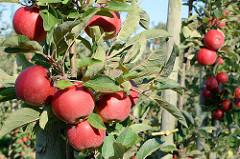 Apfelbäume mit reifen roten Äpfeln im Alten Land - Blauer Himmel.