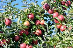 Reife rote Äpfel - Obstanbaugebiet im Alten Land.