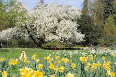 Eine Wiese mit blühenden Osterglocken, Narzissen und Magnolienbaum im Hamburger Stadtpark.