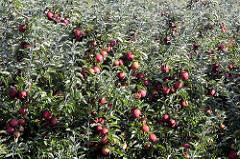 Reife rote Äpfel an Apfelbäume  - Obstanbaugebiet im Alten Land.
