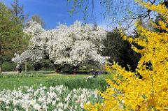 Frühling in der Hansestadt Hamburg - blühende Bäume und Blumen - Frosythienstrauch, Osterglocken / Narzissen und Magnolien.