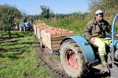 Apfelernte im Alten Land - Trecker mit Anhängern, die mit frisch gepflückten Äpfeln gefüllt sind.