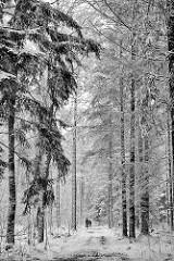 Winter im Tangstedter Forst - Schneefall, hohe Tannen bedeckt mit Schnee - Spaziergänger.