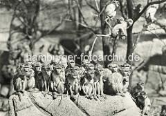 Herde Rhesusaffen im Freigehege in Hagenbeck's Tierpark in Hamburg Stellingen.