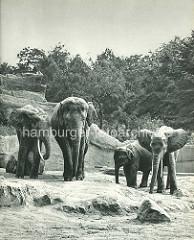 Elephanten im Freigehege - Hagenbecks Tierpark in Hamburg Stellingen.