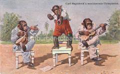 Carl Hagenbeck's musizierende Chimpansen - Schimpansen in Menschenkleidung mit Schuhen spielen Geige und Guitarre.