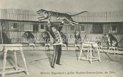 Circus bei Hagenbecks - Wilhelm Hagenbeck's größte Raubtier-Dressur-Schau der Erde; Löwen und Tiger sitzen auf Schemeln, ein Tiger springt durch zwei Reifen, die der Dompteur in Uniform hochhält.