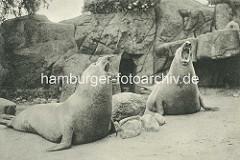 Brüllende Seelöwen im Freigehege Hagenbecks Tierpark in Hamburg Stellingen.