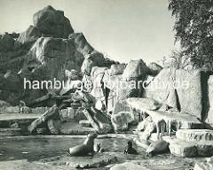 Seelöwen und Robben im Freigehege - im Hintergund ein Eisbär; Hagenbecks Tierpark in Hamburg Stellingen.