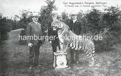 Carl Hagenbeck's Tierpark, Stellingen - 19 Monate alter, im Tierpark gezüchteter Tiger.
