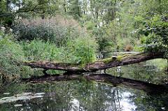 Hohes Schilf am Ufer - ein  bemooster Baumstamm liegt quer über dem Wasser; Spreewaldbilder bei Schlepzig.