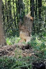 Ein von Bibern angenagter Baumstamm im Spreewald bei Schlepzig.