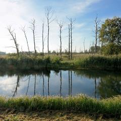 Kahle Bäume am Ufer der Spree - Schilf am Ufer in der Nähe von Lübbenau.