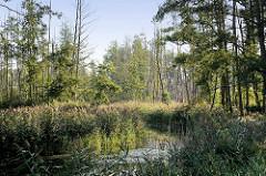 Lauf der Haupt-Spree bei Lübbenau im Spreewald - hohes Schilf und abgestorbene Bäume am Ufer.